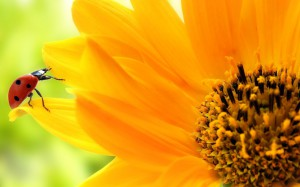 summer-sunflowers-wallpapers-hd-sunflower-wallpaper-yellow